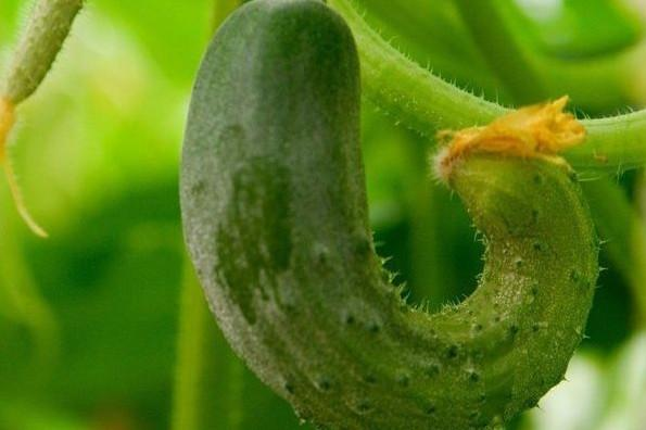 Чего не хватает огурцам, или почему огурцы растут кривыми?