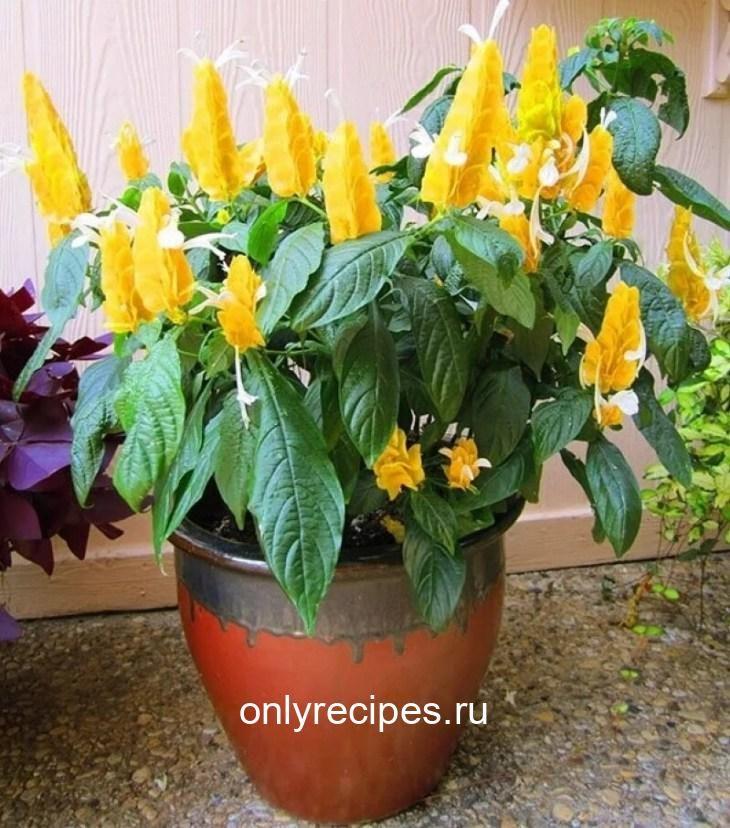 komnatnye-cvety-kotorye-budut-radovat-svoim-cveteniem-ne-perestavaya-10-3052400