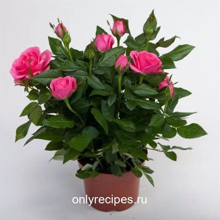 komnatnye-cvety-kotorye-budut-radovat-svoim-cveteniem-ne-perestavaya-11-1676324