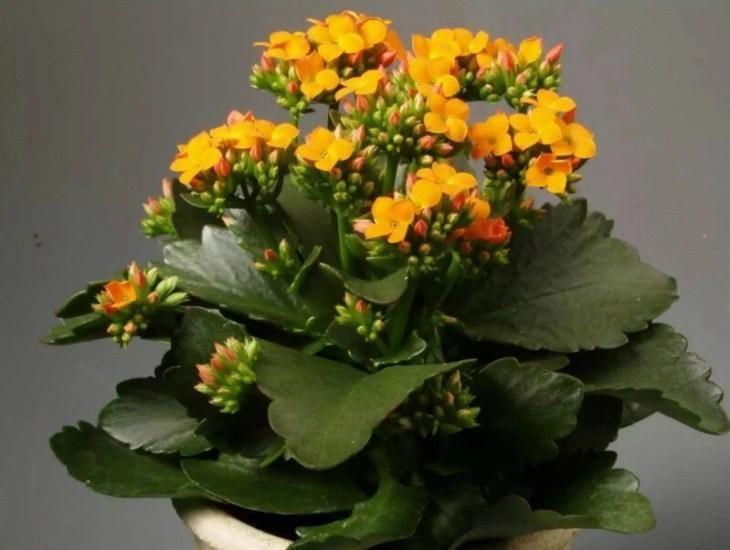 komnatnye-cvety-kotorye-budut-radovat-svoim-cveteniem-ne-perestavaya-3-3131077