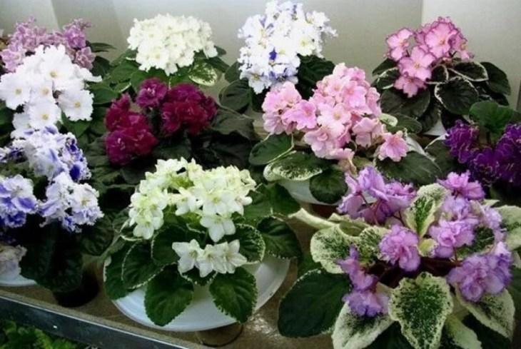 komnatnye-cvety-kotorye-budut-radovat-svoim-cveteniem-ne-perestavaya-4-3134052