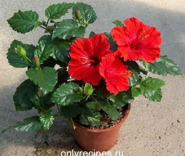komnatnye-cvety-kotorye-budut-radovat-svoim-cveteniem-ne-perestavaya-5-4466918