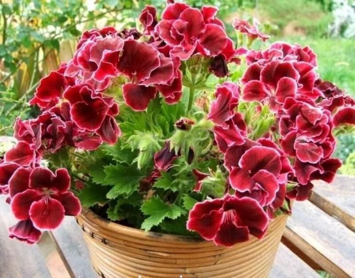 komnatnye-cvety-kotorye-budut-radovat-svoim-cveteniem-ne-perestavaya-7-4918235