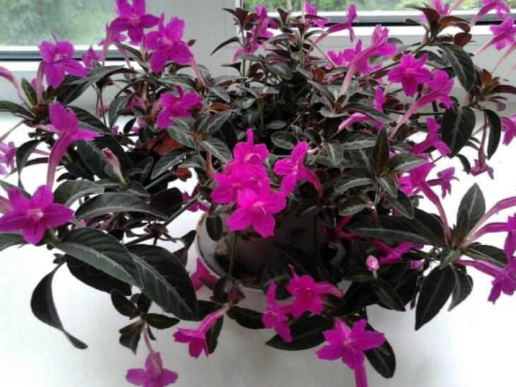 komnatnye-cvety-kotorye-budut-radovat-svoim-cveteniem-ne-perestavaya-8-9348464
