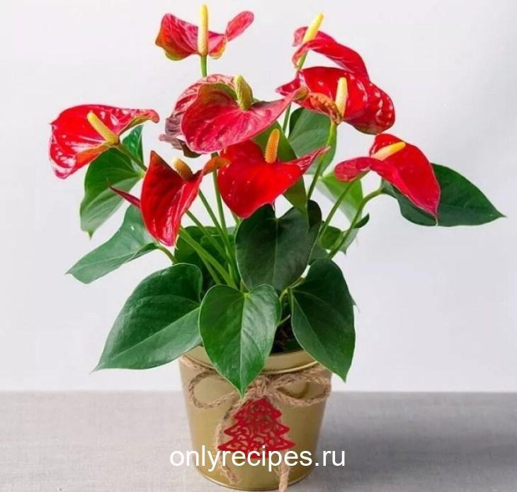 komnatnye-cvety-kotorye-budut-radovat-svoim-cveteniem-ne-perestavaya-9-6116597
