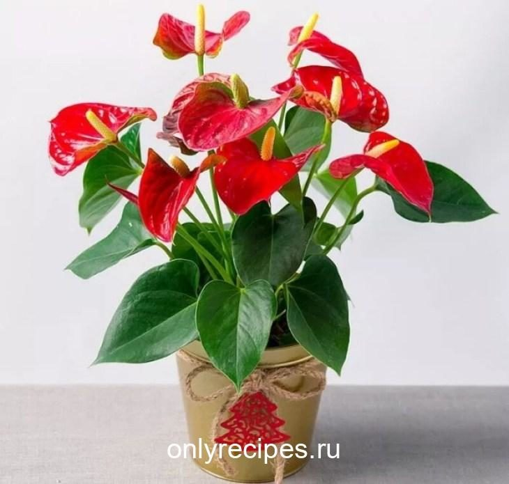 komnatnye-cvety-kotorye-budut-radovat-svoim-cveteniem-ne-perestavaya-9-9985220